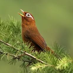 正在松枝上鸣叫的画眉鸟高清照片