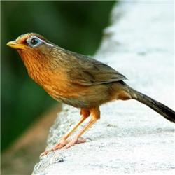 眼神超机灵的一只画眉鸟高清图片