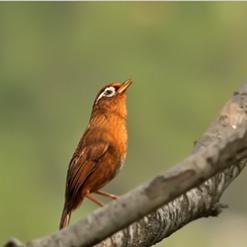 颜色金黄的画眉鸟高清图片