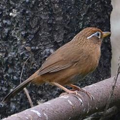 高级摄影师拍摄的棕色画眉鸟图片