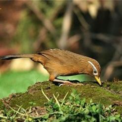 画眉鸟近距离拍摄高清图片