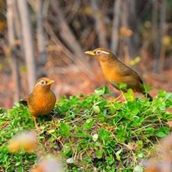 形影不离的两只可爱画眉鸟高清照片