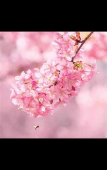 2020最新浪漫樱花图片唯美高清图片