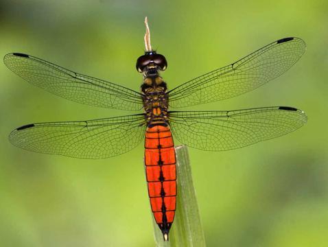 森林猎人蜻蜓