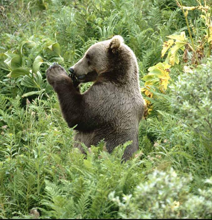 科迪亚克棕熊