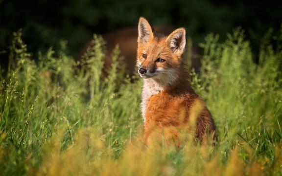 灵敏又聪明的小狐狸