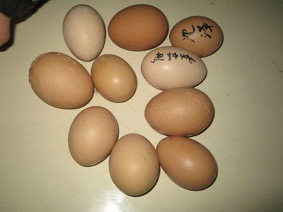 母鸡生蛋图片